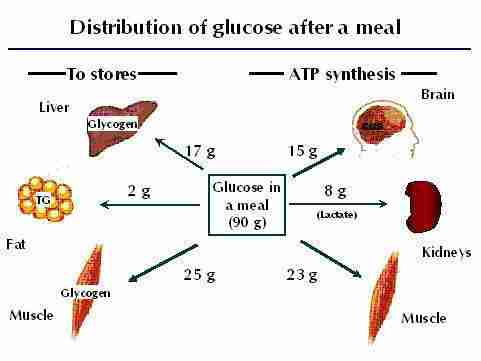 Infographic on the distribution of glucose after a 90g meal